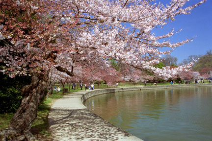 CherryBlossoms_010404-22.jpg
