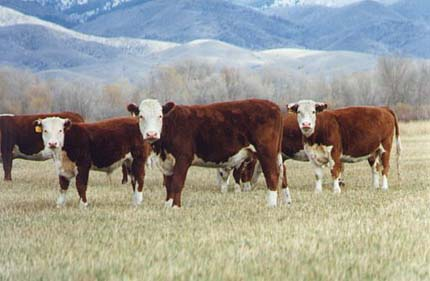 cattle_13a.jpg
