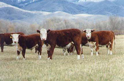 cattle_13a.jpg