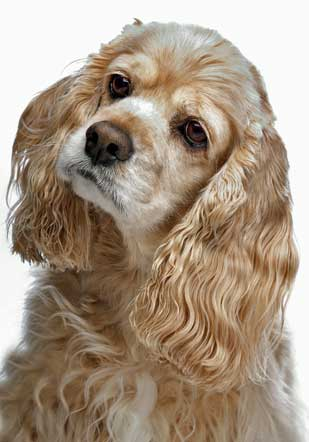 cocker-spaniel-ears-1.jpg