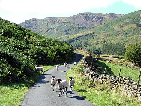 sheep_road_470x353.jpg